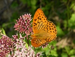 Keizersmantel (Argynnis paphia)